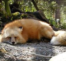 031504 Red Fox Winona 40