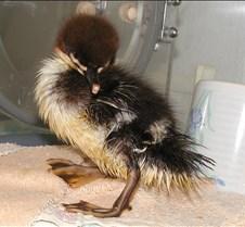 042304 Merganser chick 65