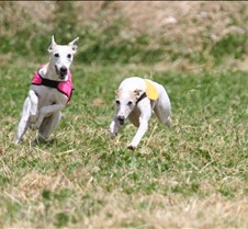 Whippets_8July_Run2_Course7_5091CR