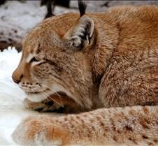 010204 Eurasian Lynx Nikki 110