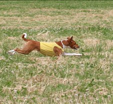 Basenjis_8Jul_Run2_Course2_5186CR2
