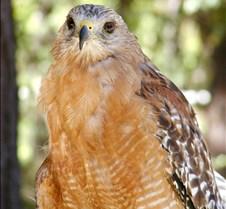 091703 Red Shouldered Hawk 186