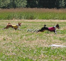 Basenjis_8Jul_Run1_Course3_3995CR2