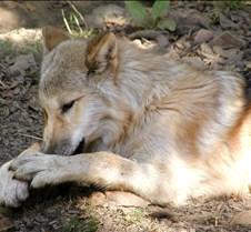 091903 Wolf Spirit 267