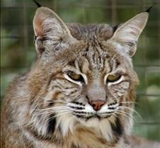 073102 Bobcat Shoshoni 15