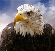 102903 Bald Eagle Defiance 69b