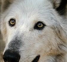 072402 Timber Wolf Tsar 98