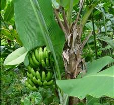 lucia bana tree