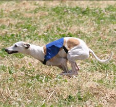 Whippets_8July_Run2_Course6_5049CR
