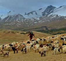 Pashmina goats of Tsomoriri