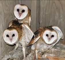 072402 Barn Owl Juveniles 112