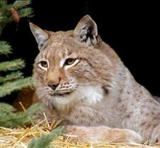 120404 Eurasian Lynx Nikki 60