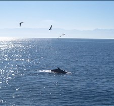 Minke Whale in the Salish Sea