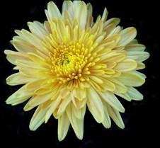 yellowmum