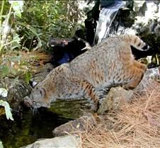 102403 Bobcat Rufus 214