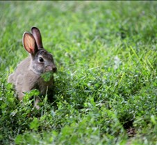 Cotton Tail Rabbit eating greens