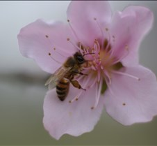 Peach Tree flower with Bee