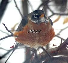 Robin fluffed 2-9