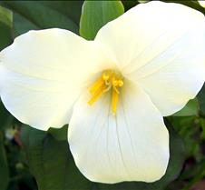 largefloweredtrillium2