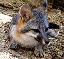 091102 Gray Fox Juvenile 88