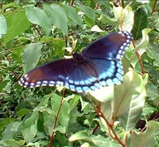 Blue Butterflly