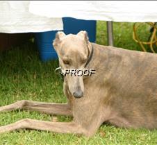 Brindle_Dog_A_Rigoletto2539
