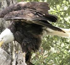 062802 Bald Eagle 17