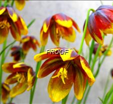Yellow Alpine Flowers