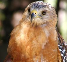 091703 Red Shouldered Hawk 171