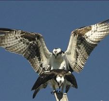 Osprey Mating 1