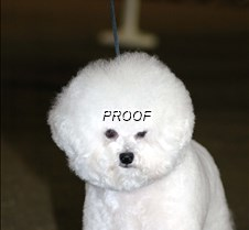 Bichon Frise 12