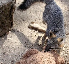 091102 Gray Fox Juvenile 77