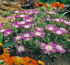 violetflowers