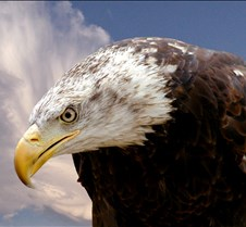 102903 Bald Eagle Defiance 87b