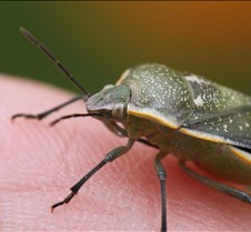 Green bug 1