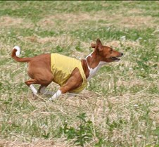 Basenjis_8Jul_Run2_Course2_5185CR
