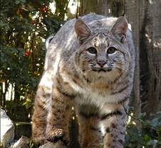 102403 Bobcat Rufus 223