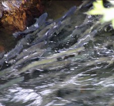 Salmon Swimming Upstream