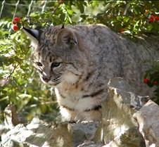 102403 Bobcat Rufus 217