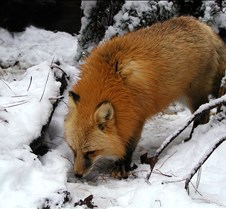 010204 Red Fox Winona 80