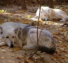 103002 Grey Wolves Tsar Lakota 52