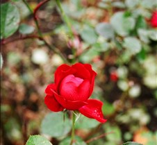 a rose in the fall in Ireland