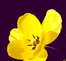 yellowtulip2
