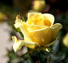 Budlong Rose
