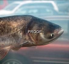 Ugly carp