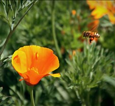 Bees & Poppies 4