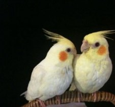 cockatiel sounds