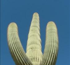 Gila Bend Saguaro