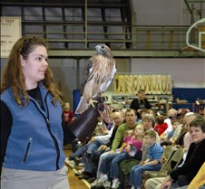 Red Tail hawk 2