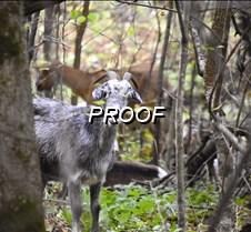 goat peering in park-tim